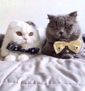 Кот (британец) для вязки