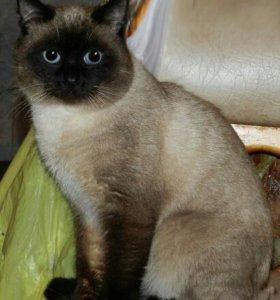 Тайский кот приглашает на вязку