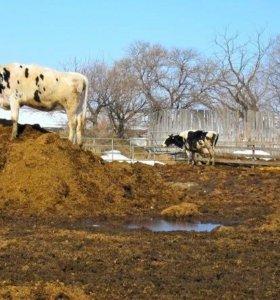 Навоз коровий с доставкой