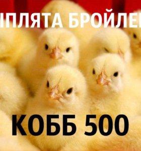 Цыплята бойлера КОББ 500