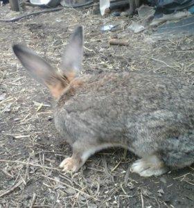 Продаются две кролихи