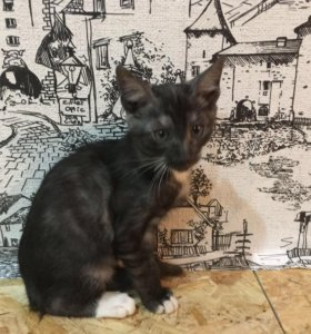 Ориентальный котёнок в дар
