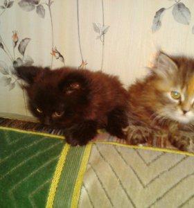 2 котенка полуперса