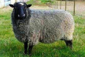 Продам овец и баранов романовской породы
