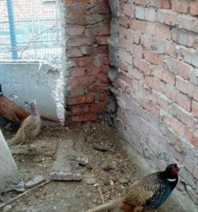 Продаю фазанов