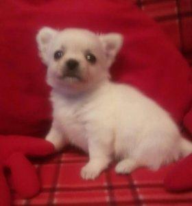 Трёхмесячный  щенок чихуахуа мальчик