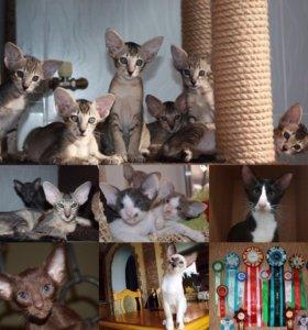 Кошки Ориентальной породы из питомника