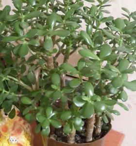 Денежние дерево