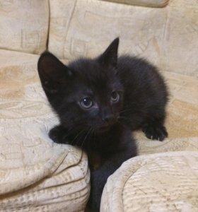 Котёнок британской кошки