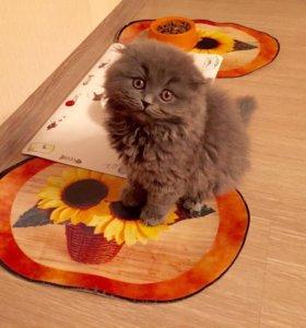 Котёнок-вислоушка -ласковый и игривый