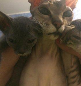 2 котика сфинкса