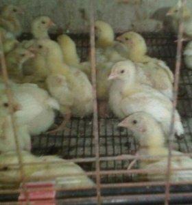 Двухнедельные цыплята