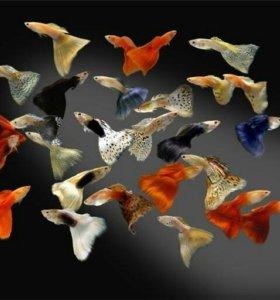 Аквариумные рыбки.Гуппи