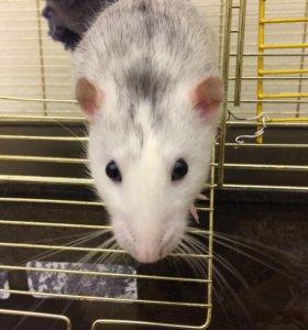 Крысята- самцы хаски дамбо