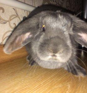 Кролик декоративный вислоухий и клетка для кролика