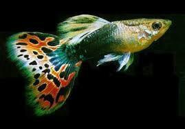 Рыбки Гуппи и Меченосцы