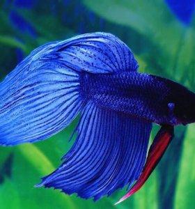 Рыбка Петух