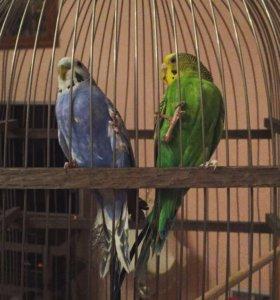 Попугайчики самец и самка