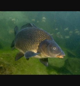 Каспийская рыба ЖИВАЯ