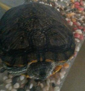 Красноухая черепаха + аквариум