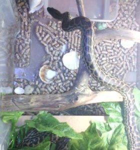Пара парагвайских анаконд