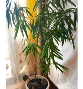 Большое растение фикус дерево 150 см