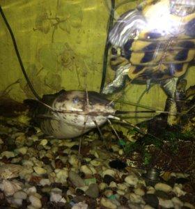 Обменяю сома на рыбок