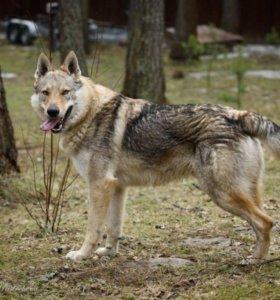 Чехословацкий влчак (волчак)