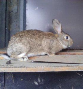 Кролик оптом