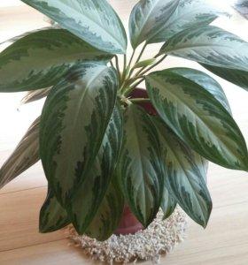 Комнатное растение Аглаонема .