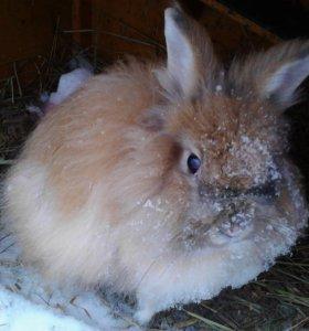 Кролик декоративный Ангорский пуховый