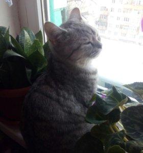 Кошка британская прямоухая