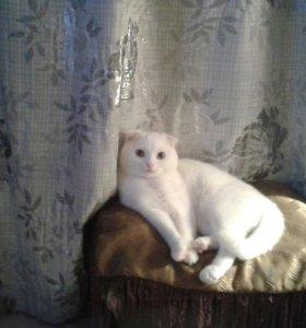 вязка с нашим милым,породистым котом