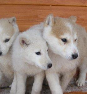 Чистокровные щенки Западно-сибирской лайки