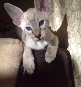 Котята ориентала