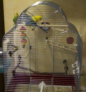 Волнистые попугаи и большая клетка