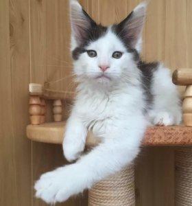 Котик Мэйн-кун