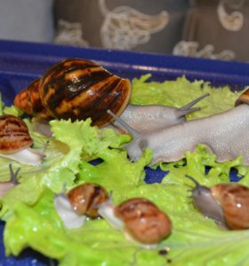 Улитка с ладонь+ 20л+ мох+ грунт