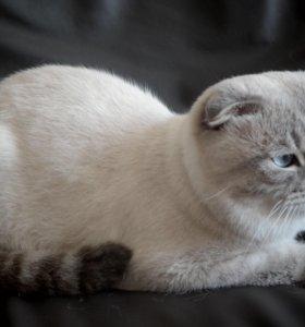 Вязка с шотландским котом.