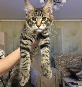 Продам котенка породы мейн-кун