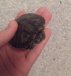 Красноухие черепахи + Террариум