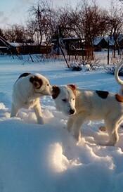 Милых щенков алабаев