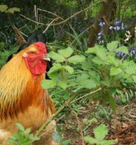 Цыплята-Брама,резервирование