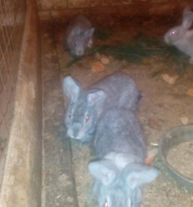 Подрощеные кролики серого Великана