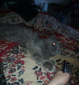Чистокровный персидский кот приглашает кошечек на