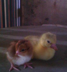 Гусята, цыплята