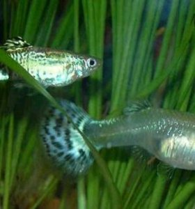 Гуппи (рыбки)