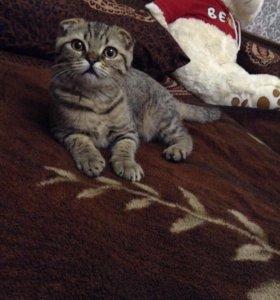 Продаю котенка вислоухого тигрового окраса