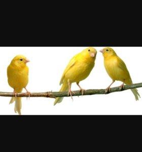 Лимонные кенары