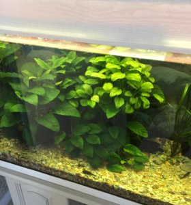 Растение для аквариума